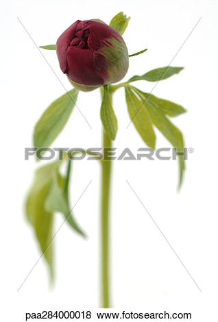 Pictures of Peony bud paa284000018.