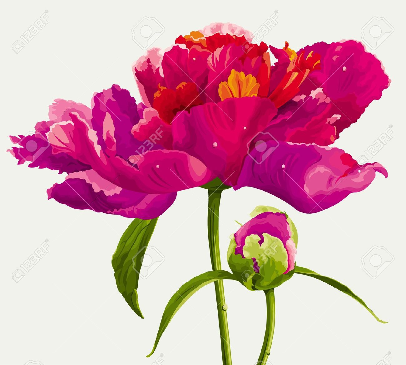 Luxurious Red Peony Flower And The Bud Painted In Bright Colors.