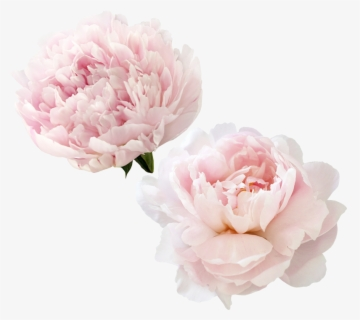 Free Peony Clip Art with No Background.