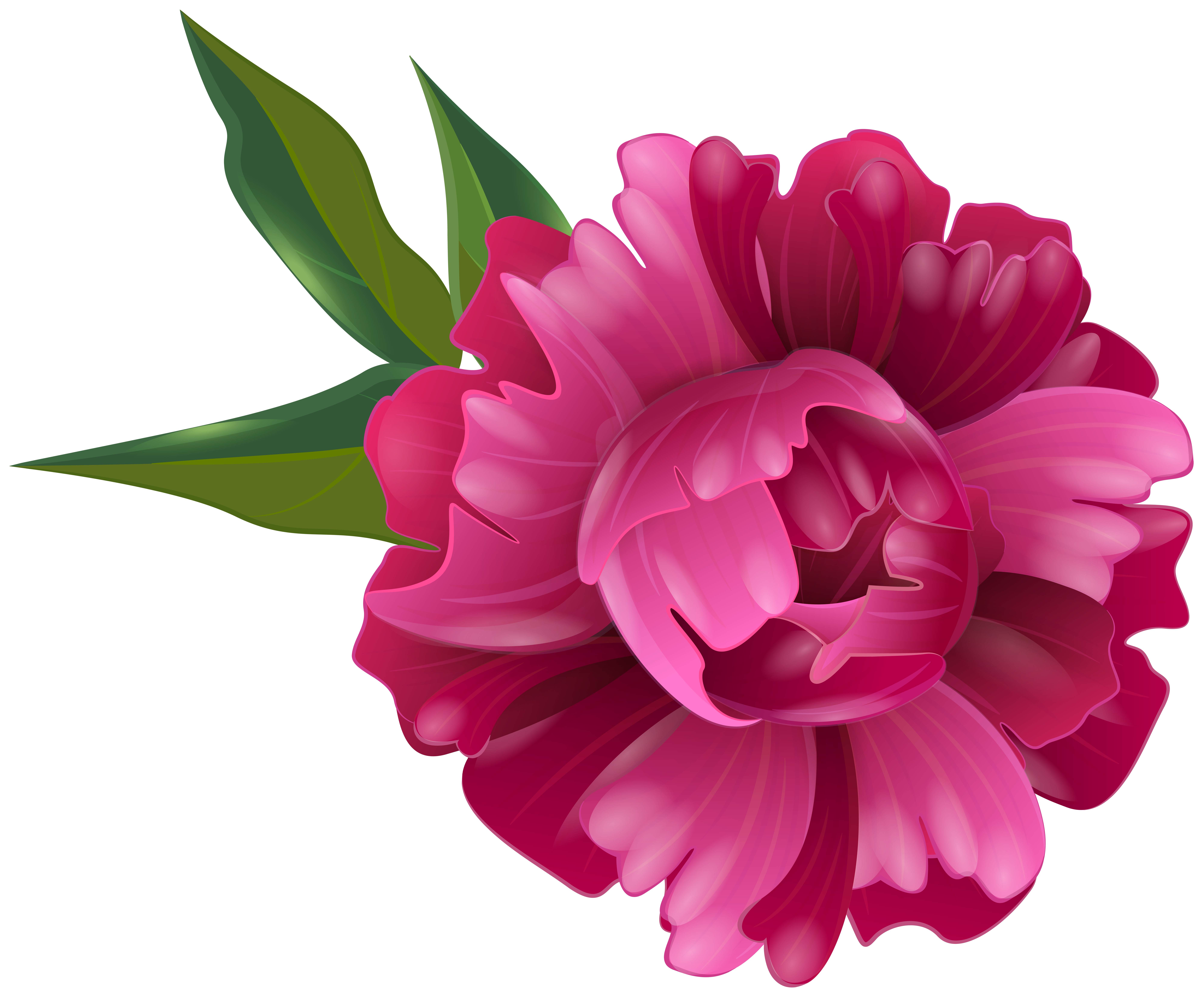 Fuchsia Peony Flower Transparent Image.