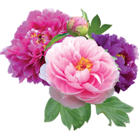 Download Peony Free PNG photo images and clipart.
