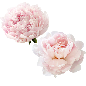 Peony Flowers PNG Images.