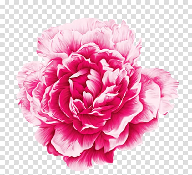 Pink rose illustration, Moutan peony Watercolor painting.