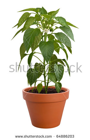Pepper Plants Stock Images, Royalty.