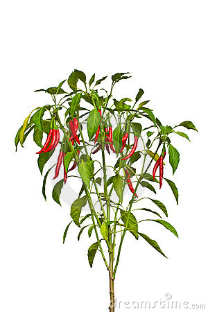 Colorful Pepper On Tree Stock Images.