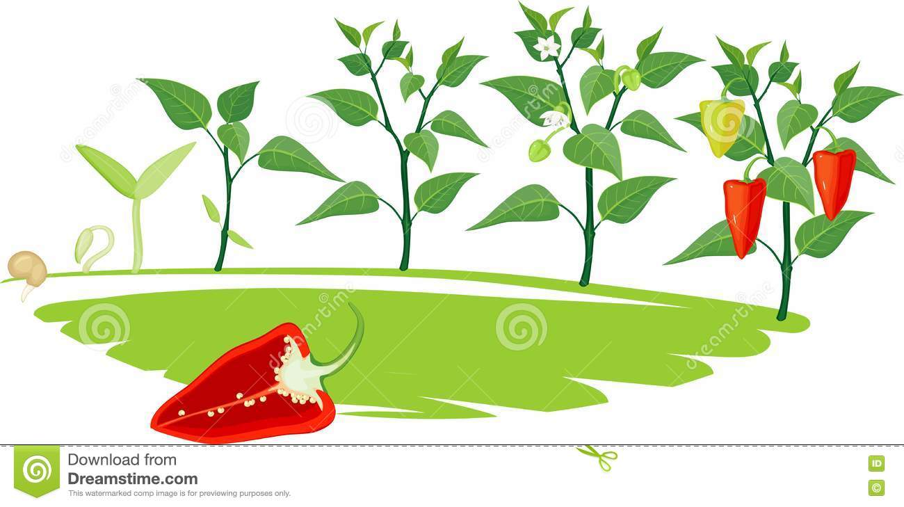Pepper Growing Stage Stock Vector.