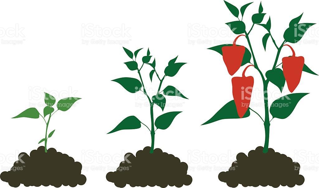 Pepper Growing Stage stock vector art 529140704.