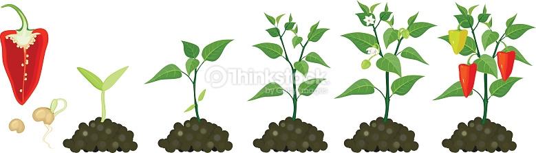 Pepper Growing Stage Vector Art.