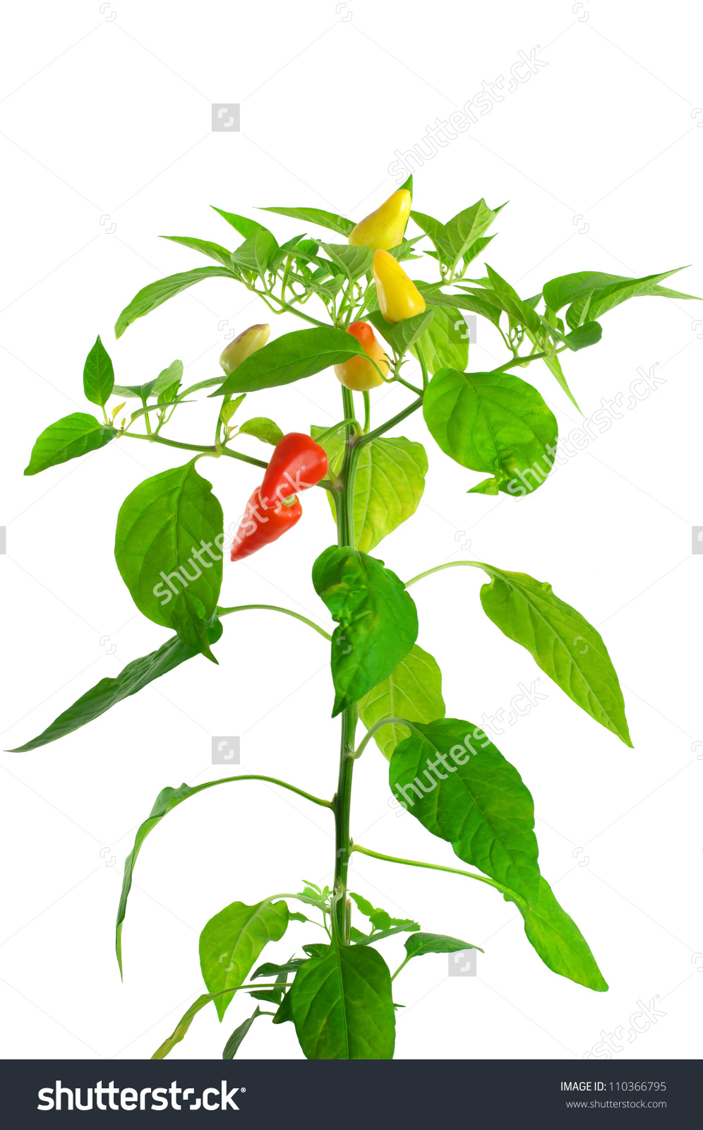 Pepper Plant On White Background Stock Photo 110366795.