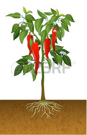 6,703 Pepper Plant Cliparts, Stock Vector And Royalty Free Pepper.