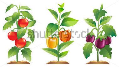 Pepper Plant Clipart (51+).