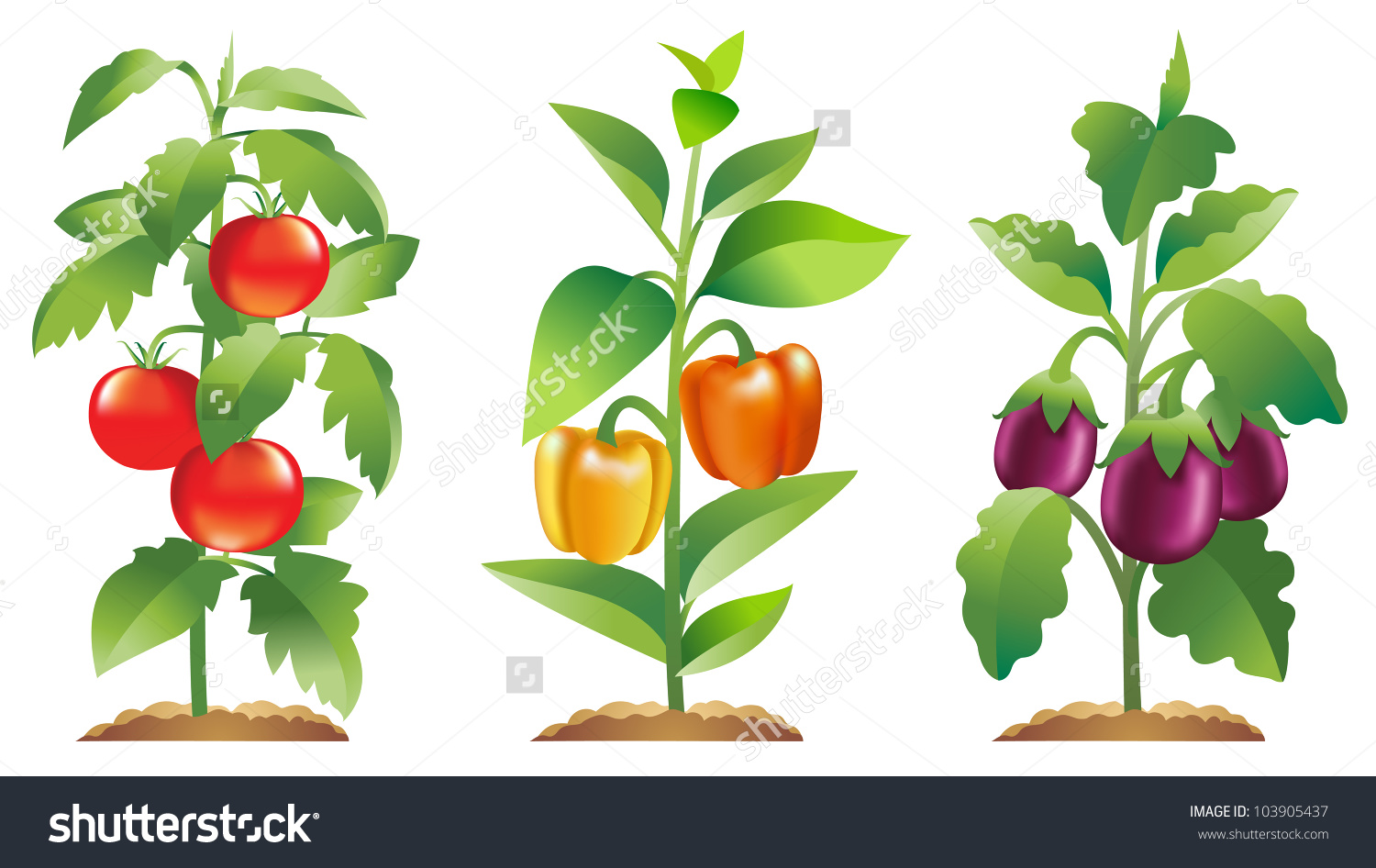 Tomato Plant Bell Pepper Plant Eggplant Stock Vector 103905437.