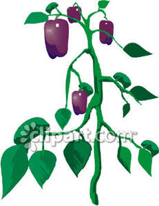 Purple Bell Pepper Plant Royalty Free Clipart Picture.