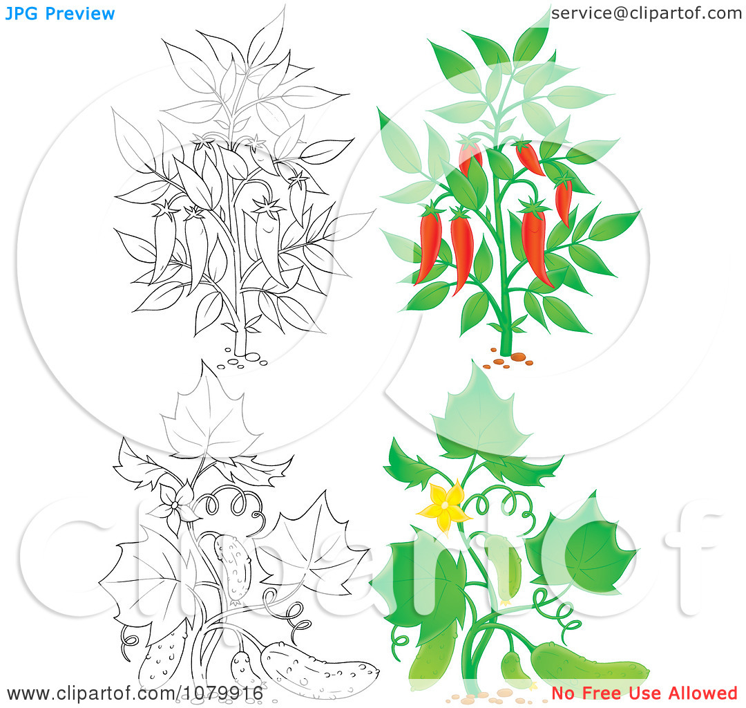 Clipart Chili Pepper And Cucumber Plants In Color And Outline.