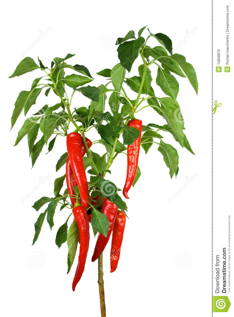 Chili Pepper Plant Royalty Free Stock Image.