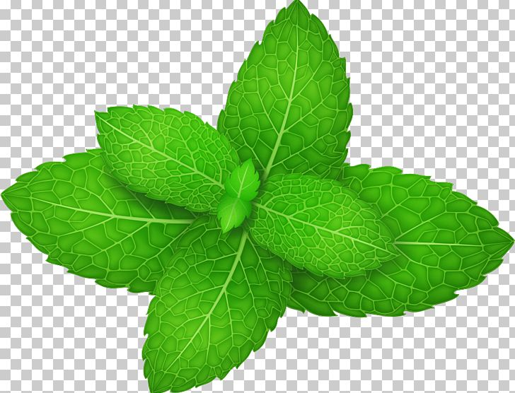 Mentha Spicata Peppermint Herb Leaf PNG, Clipart, Cartoon.