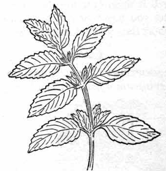 Herbs : peppermint : Classroom Clipart.