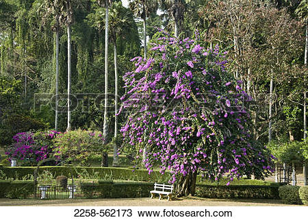 Stock Photo of Flowers blooming on a tree in the park, Peradeniya.
