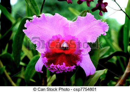 Stock Photography of orchid in the botanical Garden of Peradeniya.