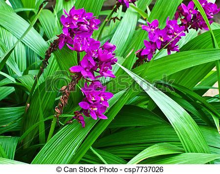 "Stock Image of botanical Garden of Peradeniya, Kandy,""Royal."