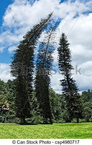 Picture of Crooked Cook Pines (Araucaria columnaris) in Peradeniya.