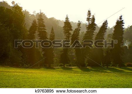 "Stock Image of ""Drunken"" pines in Royal Botanical Gardens."