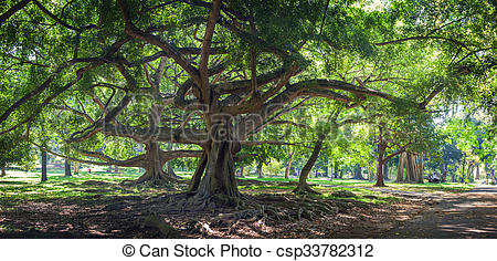 Stock Photography of Ficus benjamina with long branches in.
