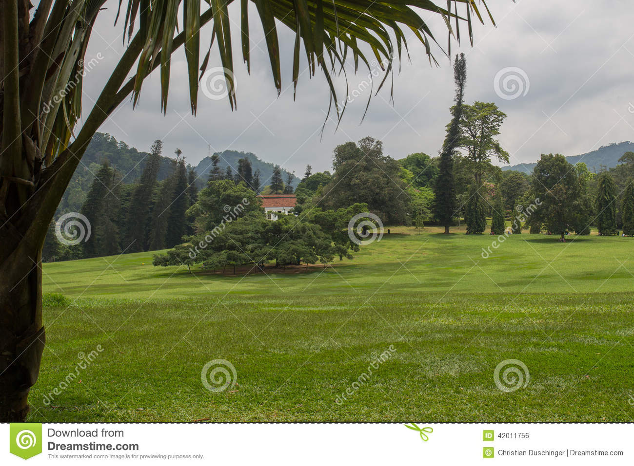 Ficus Benjamina In Peradeniya Botanical Gardens Stock Photo.