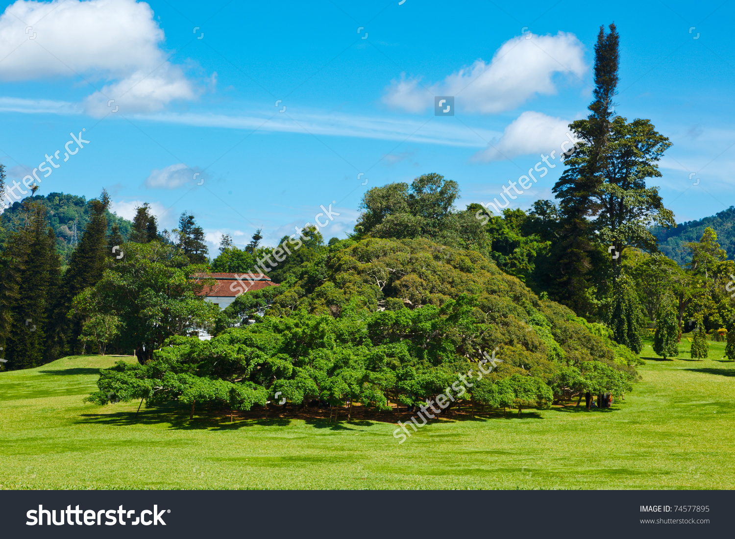 Ficus Benjamina Peradeniya Botanical Gardens Kandy Stock Photo.