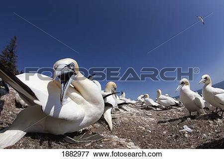 Picture of Gannet About To Bite; Perce', Quebec, Canada 1882977.