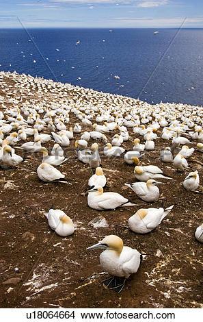 Stock Photo of Northern gannet (Morus bassanus) Nesting colony.
