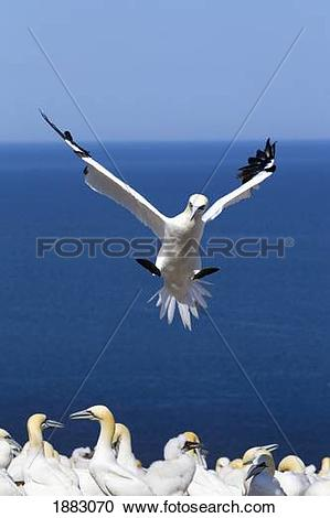 Stock Photography of Gannet About To Land Into The Colony On.