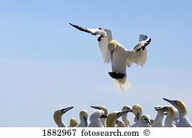 Gannet Stock Photo Images. 1,977 gannet royalty free images and.