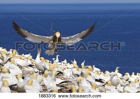 Stock Images of Gannet Doing The Usual Awkward Landing With Grass.