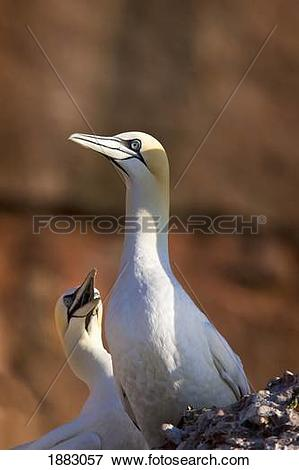 Picture of Two Gannets Interacting; Perce', Quebec, Canada 1883057.
