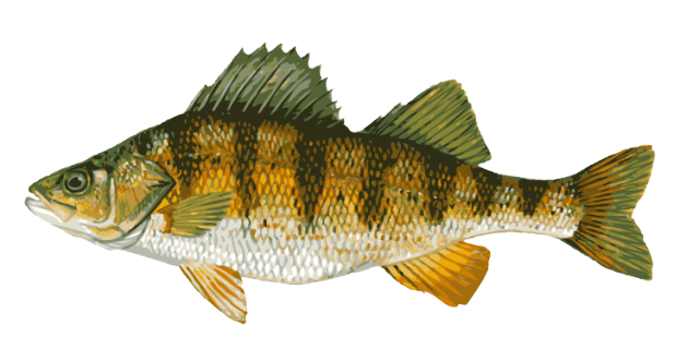 Great Clip Art of Freshwater Fish: Yellow Perch.