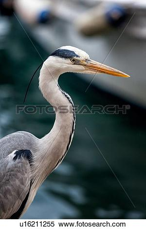 Stock Image of Heron detail of head and neck in fishing port.