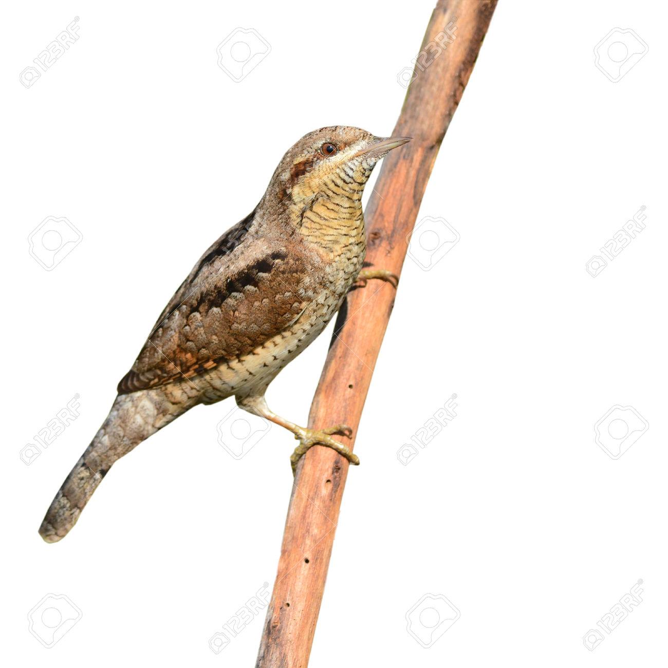 Eurasian Wryneck (Jynx Torquilla) Bird Perching On A Branch.