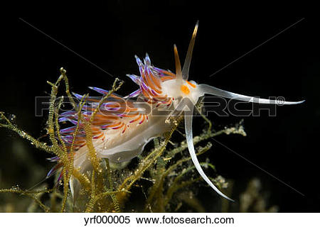 Stock Image of Croatia, Cratena Slug, Cratena peregrina yrf000005.
