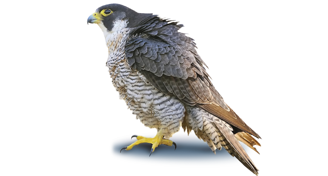 Download Peregrine Falcon PNG Photo.