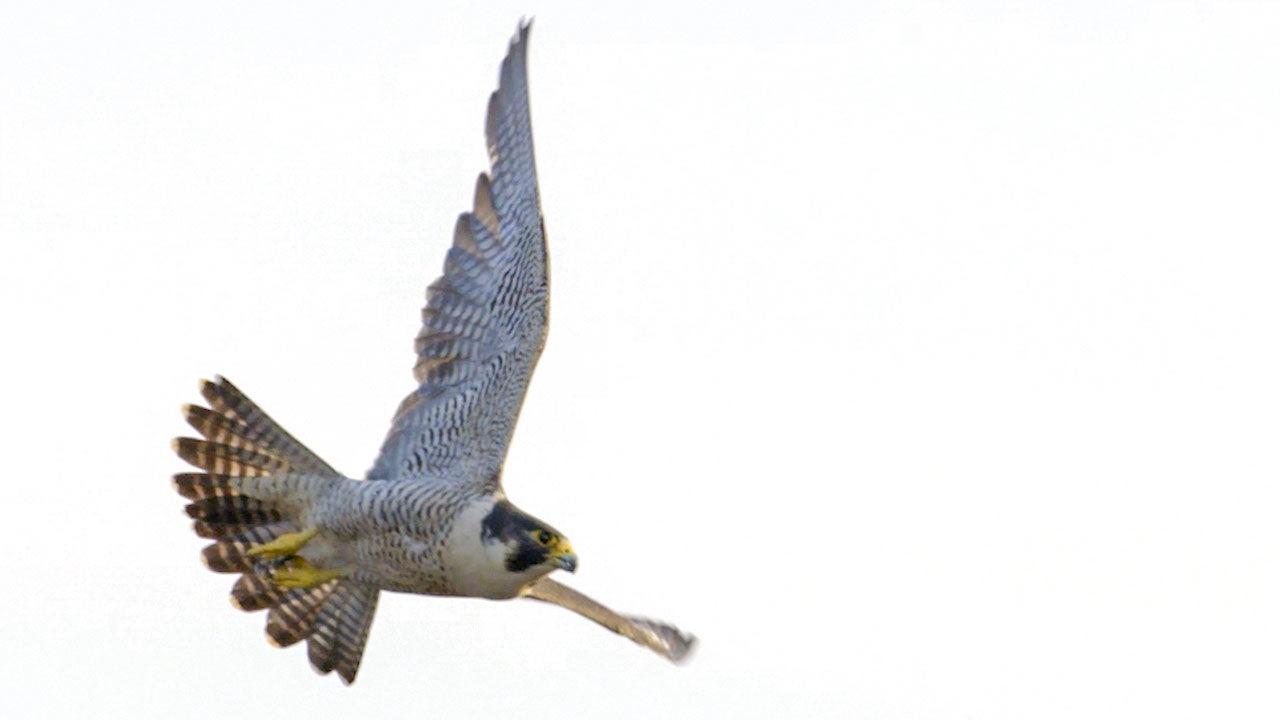 Peregrine falcons maneuver best when dive.