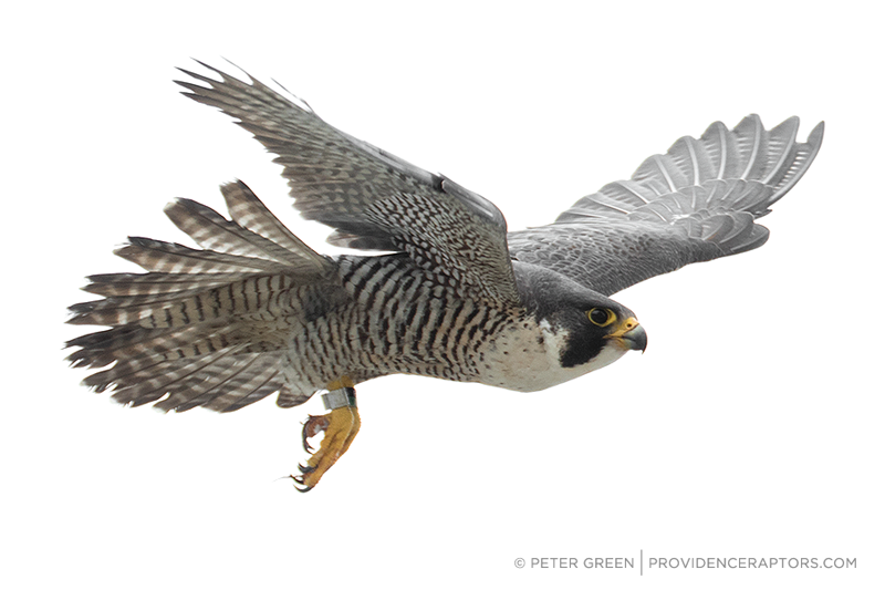 Peregrine Falcon rescue, reunion and banding 2015.