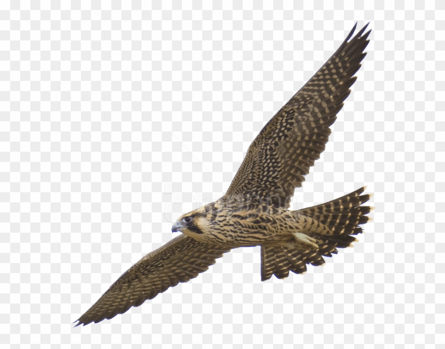 Free Png Download Falcon Png Images Background Png.