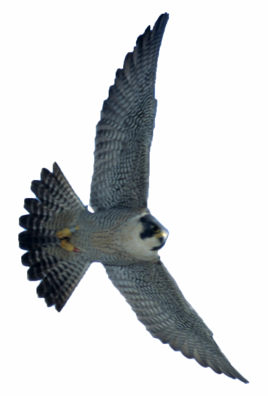 Peregrine Falcon Png, Transparent Png Download For Free.