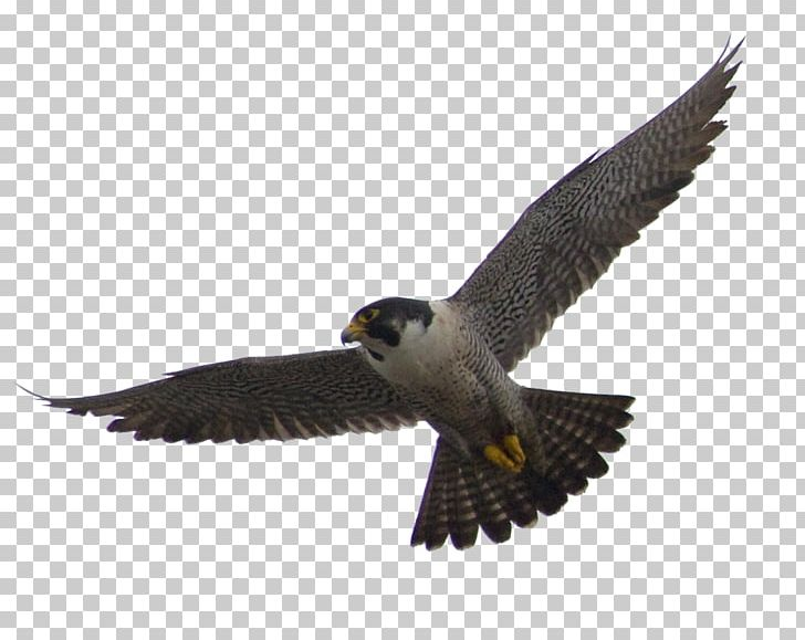 The Peregrine Falcon Flight Bird PNG, Clipart.