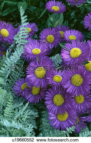 Stock Photo of perennial, summer, purple, erigeron serenity.