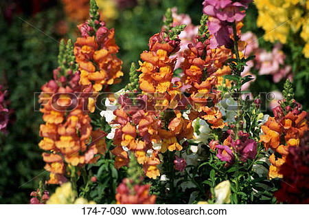 Stock Photography of Snapdragon, Flower, Outdoors, Flowers.