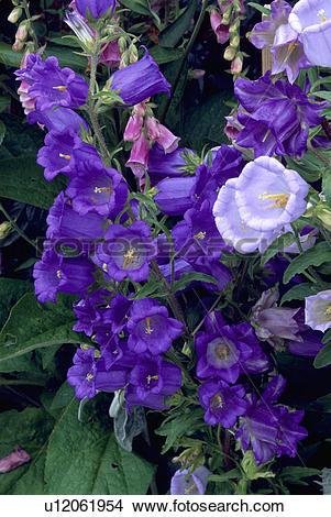 Stock Photo of perennial, canterbury bell, summer, blue, campanula.