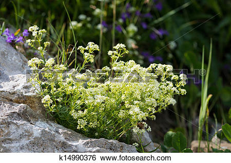 Stock Images of chamois cress, small tufted perennial herb of.