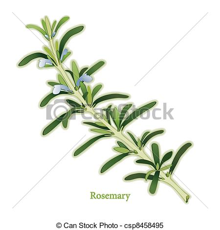 Clipart Vector of Rosemary Herb.